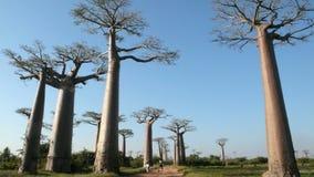 Baobabs. Madagascar Stock Photos