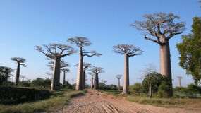 Baobabs. Madagascar Royalty Free Stock Image