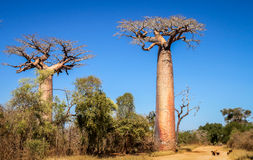 Baobabs in Madagascar Royalty Free Stock Images
