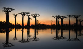 Baobabs no nascer do sol perto da água com reflexão madagascar Fotos de Stock Royalty Free