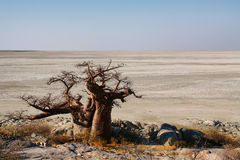 Baobabs op Kubu-eiland in de winter royalty-vrije stock afbeelding