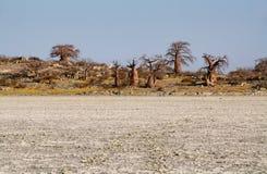 Baobabs op Kubu-eiland in de winter stock foto's