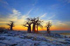 Baobabs på Kubu på soluppgång Arkivfoton