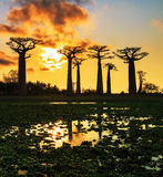 Baobabs reflection Stock Images