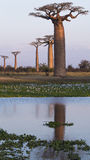Baobabs in a Row Royalty Free Stock Image