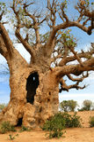Baobabs in savanna. Royalty Free Stock Photos