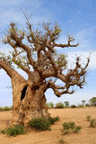 Baobabs in savanna. Royalty Free Stock Photo