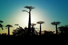 Baobabs sunrise Royalty Free Stock Photo
