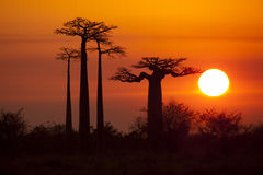 Baobabs with sunrise Royalty Free Stock Photos