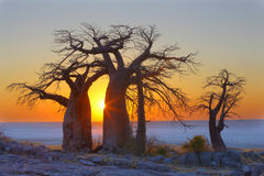 Baobabs at sunrise in Kubu Island Stock Image