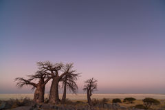 Baobabs before sunrise Royalty Free Stock Photography