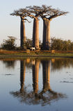 Baobabs at sunrise near the water with reflection. Madagascar. Stock Images