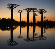 Baobabs at sunrise near the water with reflection. Madagascar. Royalty Free Stock Images