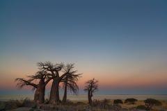 Baobabs at sunset Royalty Free Stock Image