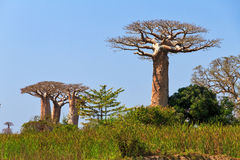 Baobabs top Stock Photo