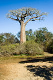 Baobabs tree Stock Photography