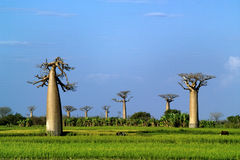 Baobabs tree landscape on the sky. Madagascar Stock Photography
