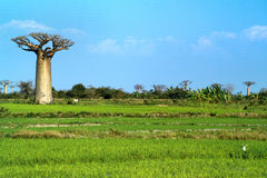Baobabs tree landscape on the sky. Madagascar Royalty Free Stock Photography