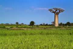 Baobabs tree landscape on the sky. Madagascar Royalty Free Stock Photo