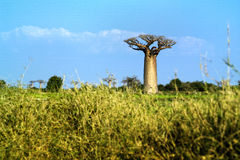 Baobabs tree landscape on the sky. Madagascar Royalty Free Stock Image
