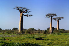 Baobabs tree landscape on the sky. Madagascar Royalty Free Stock Images
