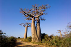 Baobabs tree landscape on the sky. Madagascar Stock Image