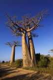 Baobabs tree landscape on the sky. Madagascar Stock Images