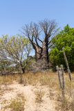 Baobabs and vegetation Royalty Free Stock Images
