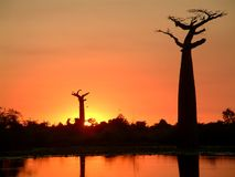 baobabsilhouette Royaltyfri Fotografi