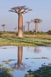 baobabsskog madagascar Royaltyfri Foto
