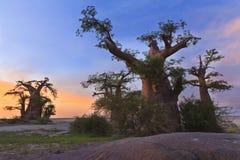 baobabsskog madagascar Fotografering för Bildbyråer