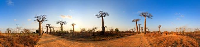 Baobabsteeg 360 Stock Afbeelding