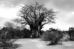 Baobabträd i det afrikanska landskapet fotografering för bildbyråer