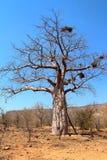 Baobabträd i Namibia Arkivbild