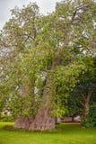 Baobabträd i Zambia Arkivfoto