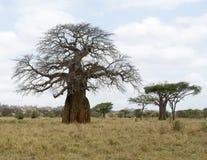 Baobabträd utan sidor Arkivbilder