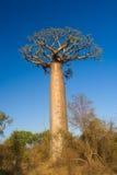 baobabtree Arkivfoto