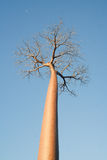 baobabtree Arkivbilder
