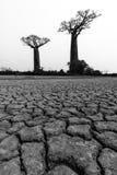 Baobabu BW pustynia Zdjęcie Royalty Free