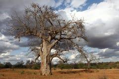 Baobabu drzewa krajobraz Fotografia Stock