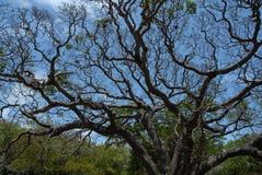 baobabu drzewo Zdjęcie Royalty Free
