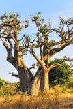 Baobabu drzewo Zdjęcia Stock