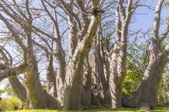 Baobabu drzewo Obraz Royalty Free