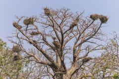 Baobabu drzewo Zdjęcie Stock