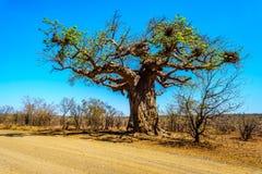 Baobabu drzewo pod jasnym niebieskim niebem w wiosna czasie w Kruger parku narodowym Zdjęcia Royalty Free