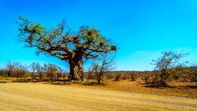 Baobabu drzewo pod jasnym niebieskim niebem w wiosna czasie w Kruger parku narodowym Zdjęcia Stock