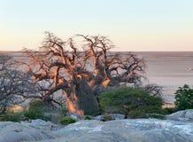 Baobabu drzewo przy Kubu wyspą Obrazy Royalty Free