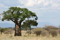 Baobabu drzewo - Tanzania, Afryka Obraz Royalty Free