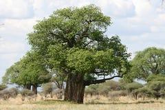 Baobabu drzewo - Tarangire park narodowy. Tanzania, Afryka Zdjęcia Stock