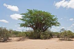 Baobabu drzewo w Kruger parku narodowym, Południowa Afryka Zdjęcia Stock